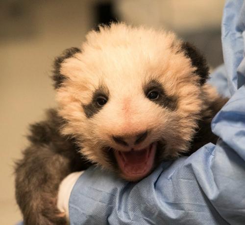 myz,zoo,beauval,panda,huan huan