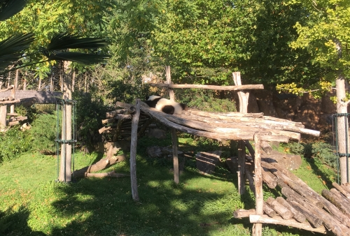 zoo,beauval,panda